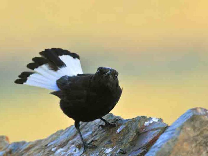 Aves do Côa | Chasco-Preto