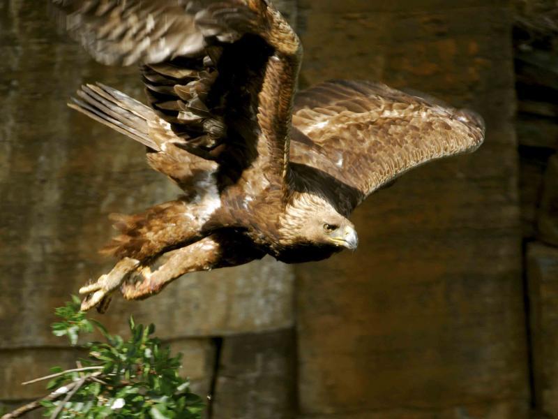 Aves do Côa | Águia Real