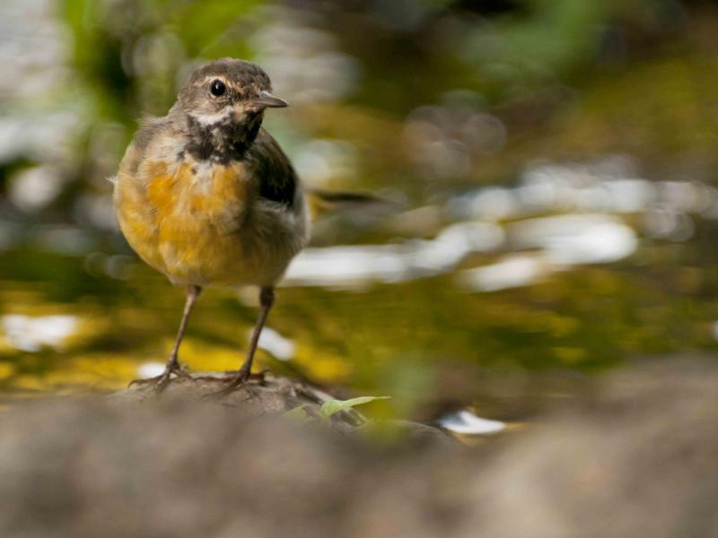 Aves do Côa | Alvéola cinzenta